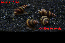 100 Assassin Snails - Live Tropical Fish Snail Ramshorn Malaysian Trumpet
