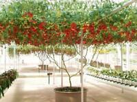 10 graines TOMATE ARBUSTIVE GIANT TREE (Lycopersicum esculentum)K38 TOMATO SEEDS