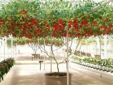 12 graines TOMATE ARBUSTIVE GIANT TREE (Lycopersicum esculentum)K38 TOMATO SEEDS