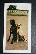 Great Dane   Vintage Colour Photo Card    Excellent Condition