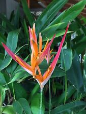 tropical ginger Heliconia singing bird bulbs/rhizome Easy To Grow