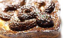Australian Queensland Boulder Opal Carved Snake 65x60x15mm