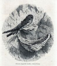 Antique bird print Bird's nest Swiftlet Collocaliini  / gravure Salangane 1861