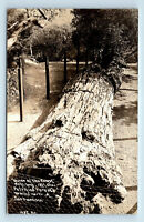 REDWOODS PETRIFIED FOREST CALIFORNIA BIG TREES ROADSIDE PATTERSON RPPC #1037