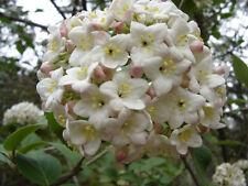 """Korean Spice Viburnum Carlesii Shrub Established Rooted 2.5"""" Potted 3 Plants"""