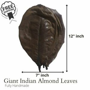 10x GIANT Indian almond leaves catappa Ketapang shrimp betta fish aquarium care