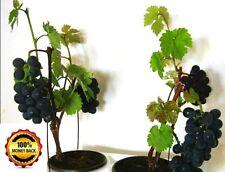 20pcs./pack Bonsai Grapes Seeds Dwarf Tree Vitis Vinifera Vine Berry Plant Fruit