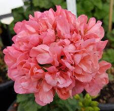 Pink Cloud Zonal Pelargonium x 1 Plant ---------- Geranium