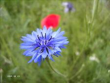 """Kornblume groß rot Centaurea cyanus 100 exotische Samen """"ALLES NUR 1 EURO"""""""