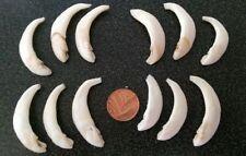 ## Wild Boar, teeth 5x # taxidermy, trophy # tusks ##