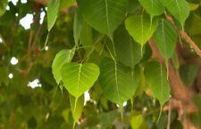 500+ Fresh Ficus Religiosa Sacred Fig Bonsai Pipal Tree seeds
