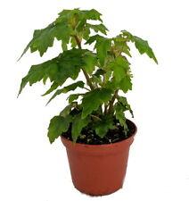 """Tweedle Dee Begonia Plant - 2.5"""" Pot - Terrarium/Fairy Garden/Houseplant/Bonsai"""