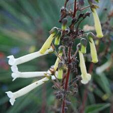 RARE SINNINGIA TUBIFLORA @ exotic color flowering hybrid succulent seed 20 SEEDS