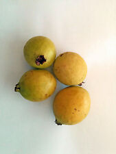 Mexican Cream Guava 50 seeds