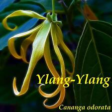 ~YLANG YLANG~ Fragrant Flowering Tree Romantic Favorite for PERFUME 10 Seeds