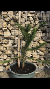 Araucaria Araucana-Chilenische Schmucktanne 25 - 40 cm
