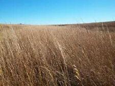 300 Ornamental BIG BLUESTEM GRASS Beardgrass Seeds