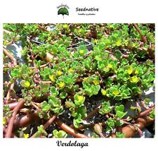 Portulaca oleracea - Verdolaga - 2000 semillas - Seeds
