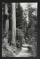 CALIFORNIA BIG TREES 20-In Sequoia Park Eureka Californa(Real Photo)