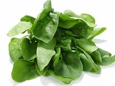 SPINACH SEEDS ENGLISH MEDANIA (APPROX 100 SEEDS)