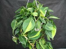 """Plant Philodendron Brazil 6""""Hanging Basket Air Purifier Indoor Live Houseplant"""