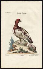 Antique Print-WHITE PARTRIDGE-LAGOPUS-XXXIX-Seligmann-Edwards-1768