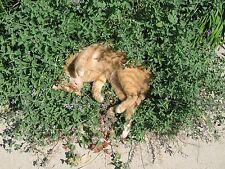 2000+ Samen Nepeta cataria - Echte Katzenminze