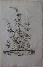 1696 TRIFOLIUM SPICATUM AMERICANUM oginal Abraham Munting botanica trifoglio