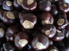 25 Buckeye Nuts - Quarter Sized - From Ohio