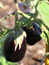 AUBERGINE SCWARZE SCHÖNHEIT 15 Samen EIERBAUM Solanum Melongena Black Beauty