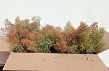 Teloxis Aristata Professionale ulivi con timo seamoss foma diorama 30 alberi
