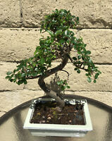 Large 12 Year Chinese Elm Bonsai Tree - Curved Thick And Hardy Trunk