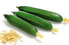 200 BEIT ALPHA Persian burpless cucumber seeds