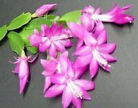 "Zygocactus Lavender Christmas Cactus Plant Indoor Live Houseplant 4"" Pot"