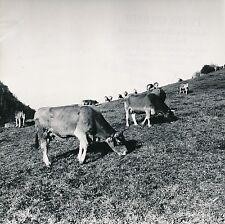 ALPAGE DU JURA c. 1950 -  Vaches  Jura  - DIV8912