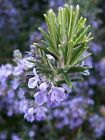 Rosemary Seeds, NON-GMO, Heirloom, Variety Sizes, Anthos, FREE SHIPPING