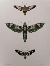 Orbigny Gravure Sur Acier XIXème Lépidoptères Syntomide Blanchard pinx 1849