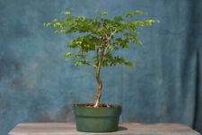 Brilliant Brazilian Raintree Pre-Bonsai Tree! Develops Fluted Trunk!