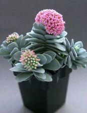 CRASSULA MORGAN'S BEAUTY planta suculenta, suculent plant