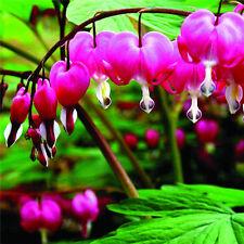 Perennial Herbs Dicentra Spectabilis Flower Bleeding Seed Purple 10pcs ☆