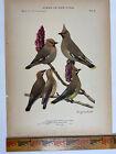 Vtg Original Print Plate #89 Waxwing Birds of New York 1916 Fuertes Nature art