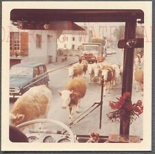 Unusual Vintage Photo Tour Bus Window View Running of Milk Cows 712733