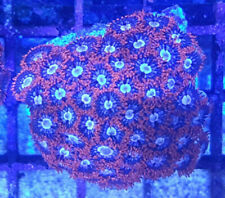 FIRE & ICE ZOANTHID FRAG LIVE SOFT CORAL FOR REEF MARINE TANK AQUARIUM ZOA
