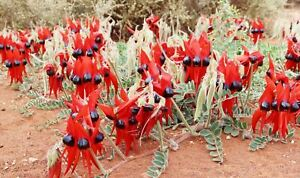 100+ Sturts Desert Pea Seeds (Swainsona formosa) Native