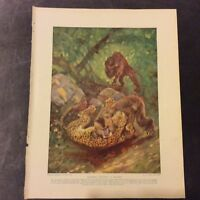 Vintage Book Print - Mandrill Fighting a Leopard