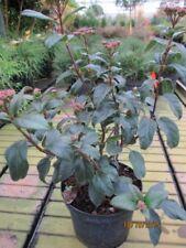 Viburnum tinus Lisspurp - Lorbeerschneeball Lisspurp