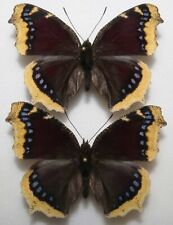 Nymphalis antiopa x2 from Poland (mounted)