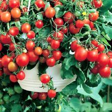 VEGETABLE CHERRY TOMATO - BAJAJA - 40 SEEDS - balcony patio tomato