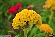 Flower 50 seeds -SFS-27015- Dwarf Cockscomb Celosia Cristata Mix +free fungicide