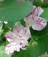 ~*~ Raspberry-Red Flaked ~*~ Morning Glory i. purpurea - 12 seeds - Some Hige!